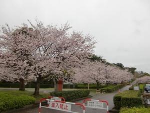 城山公園・桜並木