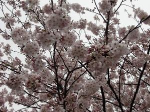 城山公園・桜満開