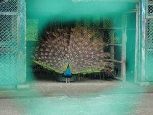 城山公園の孔雀