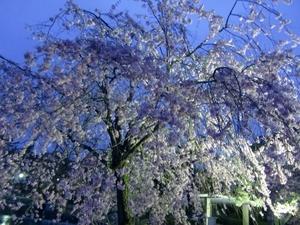 千葉公園・桜