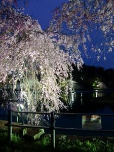 千葉公園・枝垂れ桜