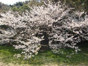 桜の奥に…