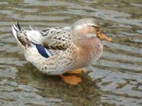 川に浮かぶ鴨