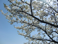 三野瀬で最初に出会った桜