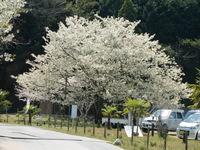 古道入口の桜