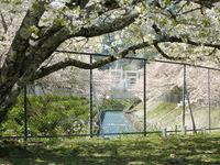 放水路の桜