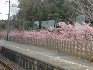 九重駅の桜