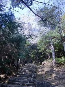 神倉神社・石段の桜