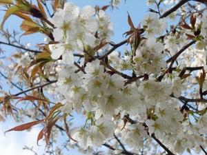 木次笹部桜