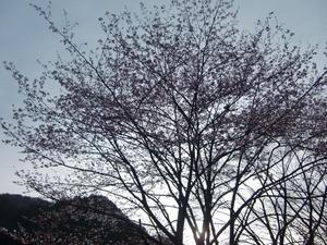 駅近くの桜