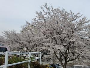 公営住宅前の桜