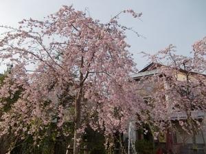 大通りの桜