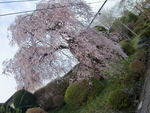 東武日光駅の桜